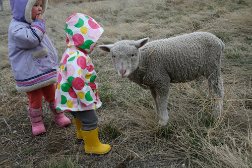 Daugher gets acquainted with a lamb.