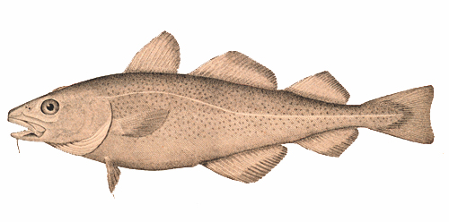 Cod Fish Illustration
