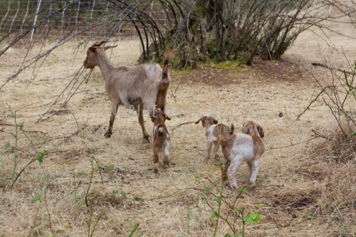 Goats at Chaffin Family Orchards