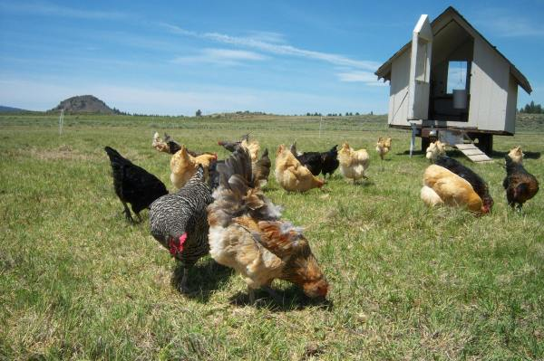 Lazy B Ranch Chickens